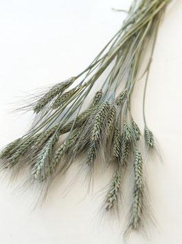 Getrocknetes Weizen türkis