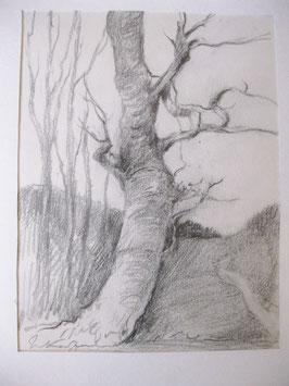 Bleistiftzeichnung von Walter Kaufmann, knorrige Baumstudie