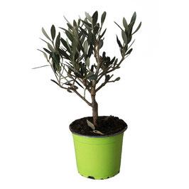 Olivo Bonsai (piccolo)