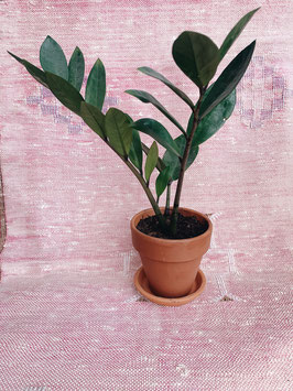 Glücksfeder - Zamioculcas zamiifolia