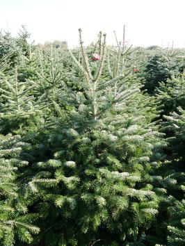 Baum B41