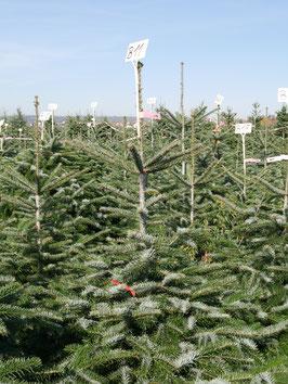 Baum B11