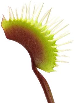 Dionaea Muscipula - 'Akai Ryu'