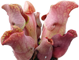 Sarracenia Purpurea ssp. Venosa RED Klon 1