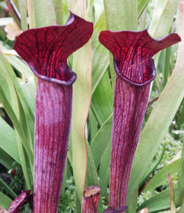 Sarracenia Rubra ssp. Gulfensis 'Dark Red, Stocky Form'