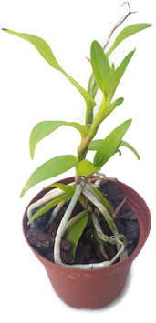 Orchidee -   Barkeria whartoniana