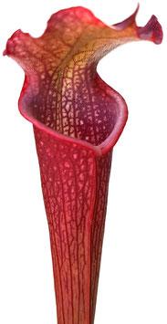 Sarracenia Leucophylla x Rubra ssp. Gulfensis 'Dark Red'