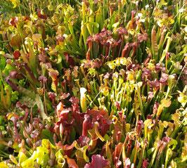 Samen Sarracenia Hybriden - Überraschung