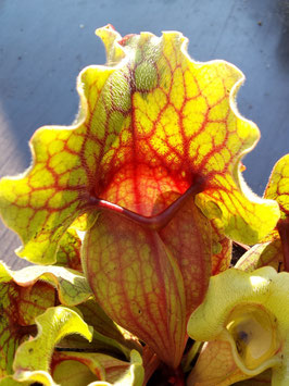 Sarracenia Purpurea ssp. Venosa 'Big Form' Klon 3