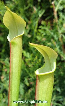 Sarracenia Rubra ssp. Wherryi 'Small Form' Perdido Alabama RW-04-PW