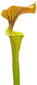 Sarracenia Flava var. Cuprea - Forrest Site,  East of Supply