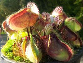 Samen Cephalotus follicularis