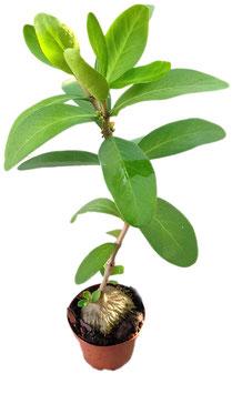 Ameisenpflanze - Hydnophytum Formicarum