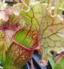 Sarracenia Purpurea X Leucophylla