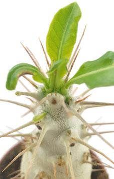 Sukkulente - Pachypodium saundersii