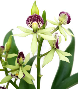 Orchidee - Encyclia 'Octopussy'