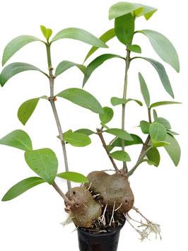 Ameisenpflanze - Hydnophytum mosleyanum 2er