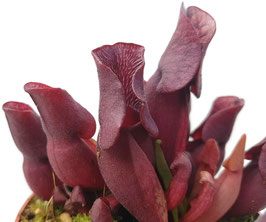 Sarracenia Purpurea ssp. Venosa 'Minor Black' ex. Carow