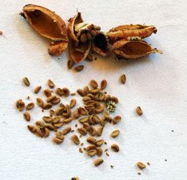 Samen Sarracenia Alata X Oreophila  - OP