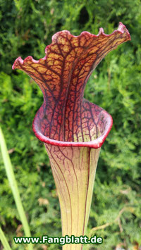 Sarracenia X 'Daniel Rudd' PJ Plants Klon
