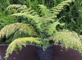 Farn - Asplenium daucifolium - Lebendgebärender Farn