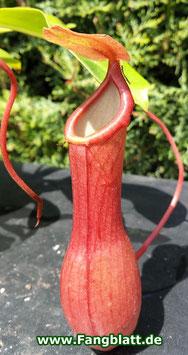 Nepenthes X Ventrata (Alata x Ventricosa)
