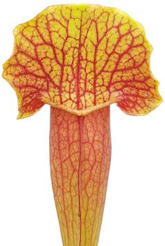 Sarracenia (x Swaniana) X (x Michelliana)