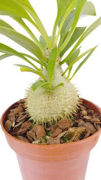 Ameisenpflanze - Myrmecodia Beccarii
