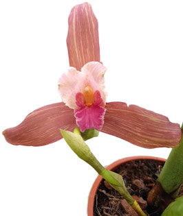 Orchidee - Lycaste Hybride -Pink