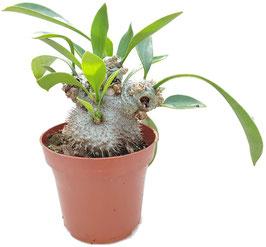 Ameisenpflanze - Myrmecodia Beccarii Altpflanzen
