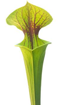 Sarracenia Flava var. Flava - Sussex Co. Virginia