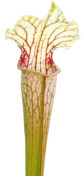 Sarracenia Rubra ssp. Gulfensis Heterophylla X Leucophylla 'Schnell´s Ghost'