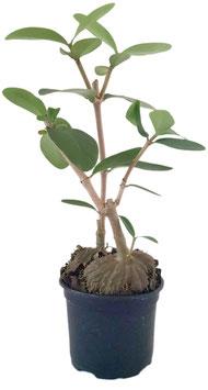 Ameisenpflanze - Hydnophytum Formicarum 2er