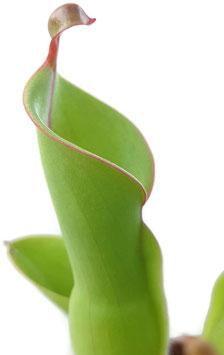 Heliamphora heterodoxa x nutans