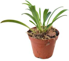 Orchidee Masdevallia herradurae - Naturform