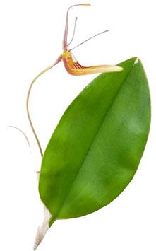 Orchidee - Restrepia trichoglossa - Miniaturorchidee