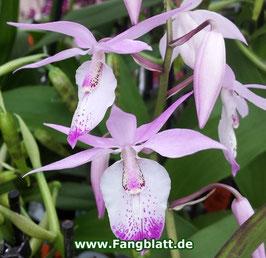 Orchidee -  Barkeria spectabilis
