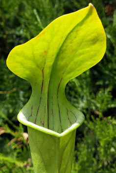 Sarracenia Oreophila, Centre Alabama