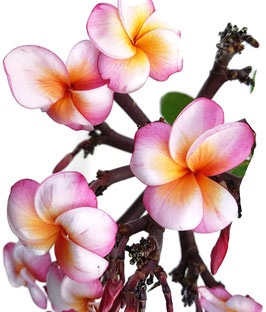 Frangipani - Plumeria Hybride Gelb/Pink