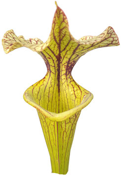 "Sarracenia X Moorei ""Black Veins"""
