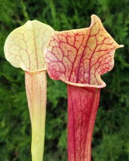 Sarracenia Moorei X Mitchelliana