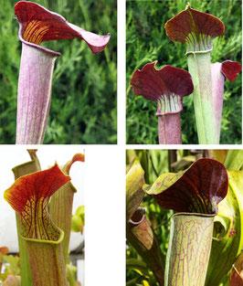Samen Sarracenia Alata Mix