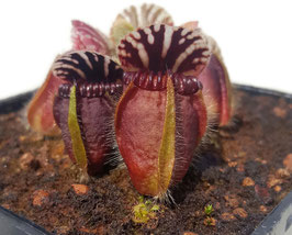 "Cephalotus Follicularis - ""Eden Black"" Original Stephen Morley"