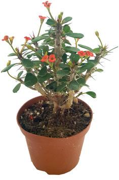Sukkulente - Euphorbia milii var. imperatae