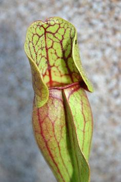 Samen Sarracenia purpurea ssp. purpurea