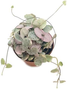 Sukkulente - Ceropegia woodii f. variegata