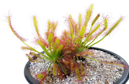 Drosera Capensis 'Crestate'