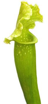 Sarracenia X Mitchelliana 'Anthocyanfree'