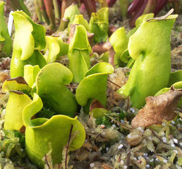 Sarracenia Purpurea ssp. Purpurea 'Green Form'