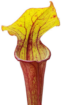 Sarracenia 'Burning Candles' Fangblatt Exklusive Hybride